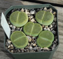 Lithops aucampiae Bellaketty (SH)